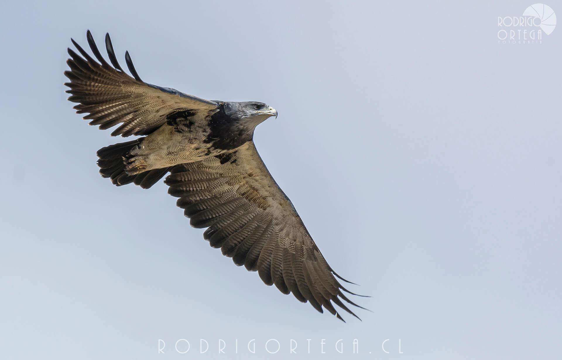 Águila (Geranoaetus melanoleucus)