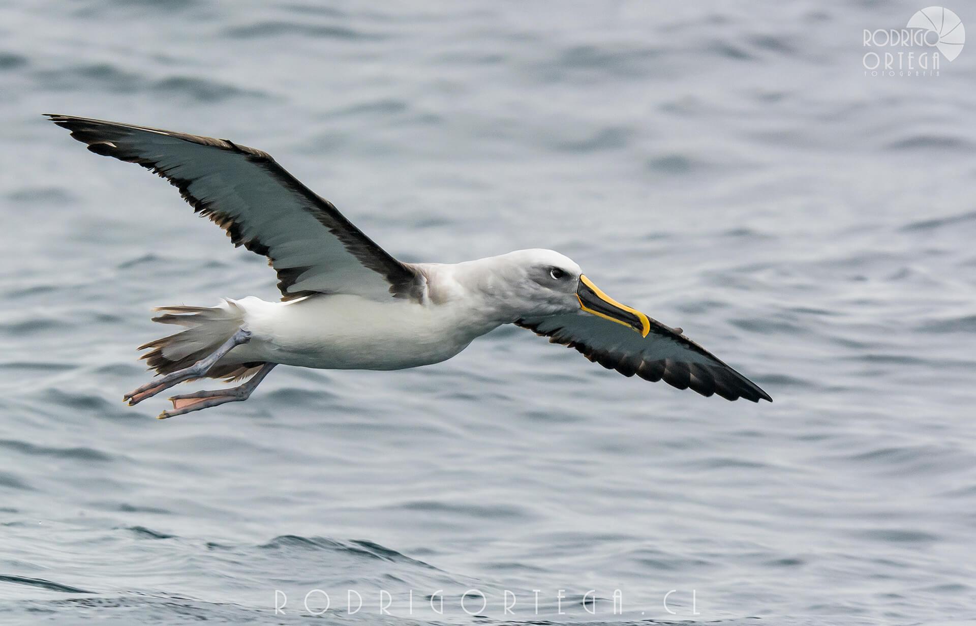 Albatros de Buller (Thalassarche bulleri)