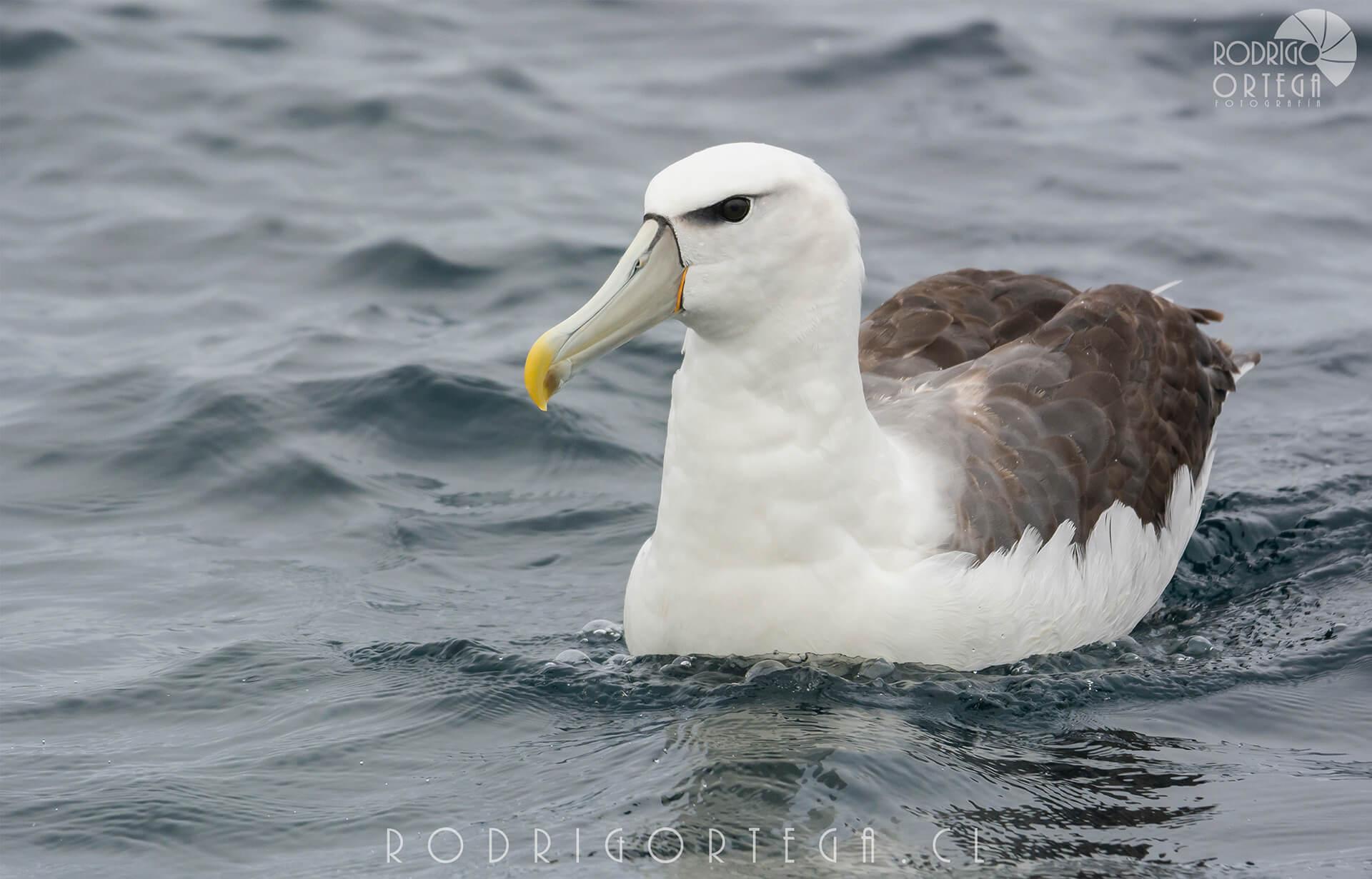 Albatros de corona blanca (Thalassarche cauta)