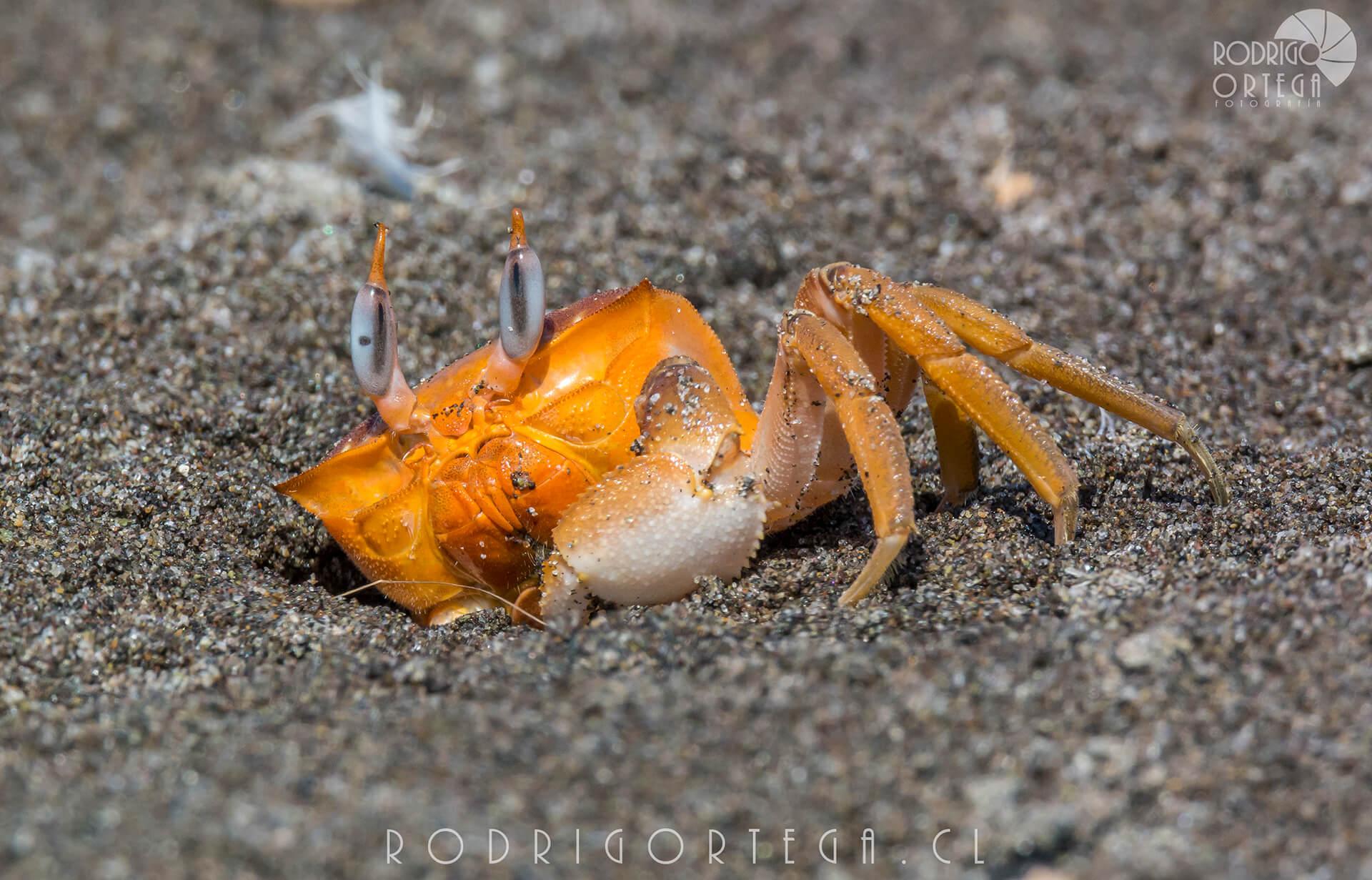 Cangrejo Fantasma (Ocypode gaudichaudii)