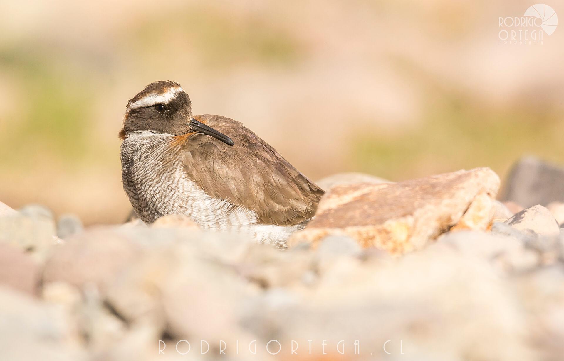 Chorlito cordillerano (Phegornis mitchellii)