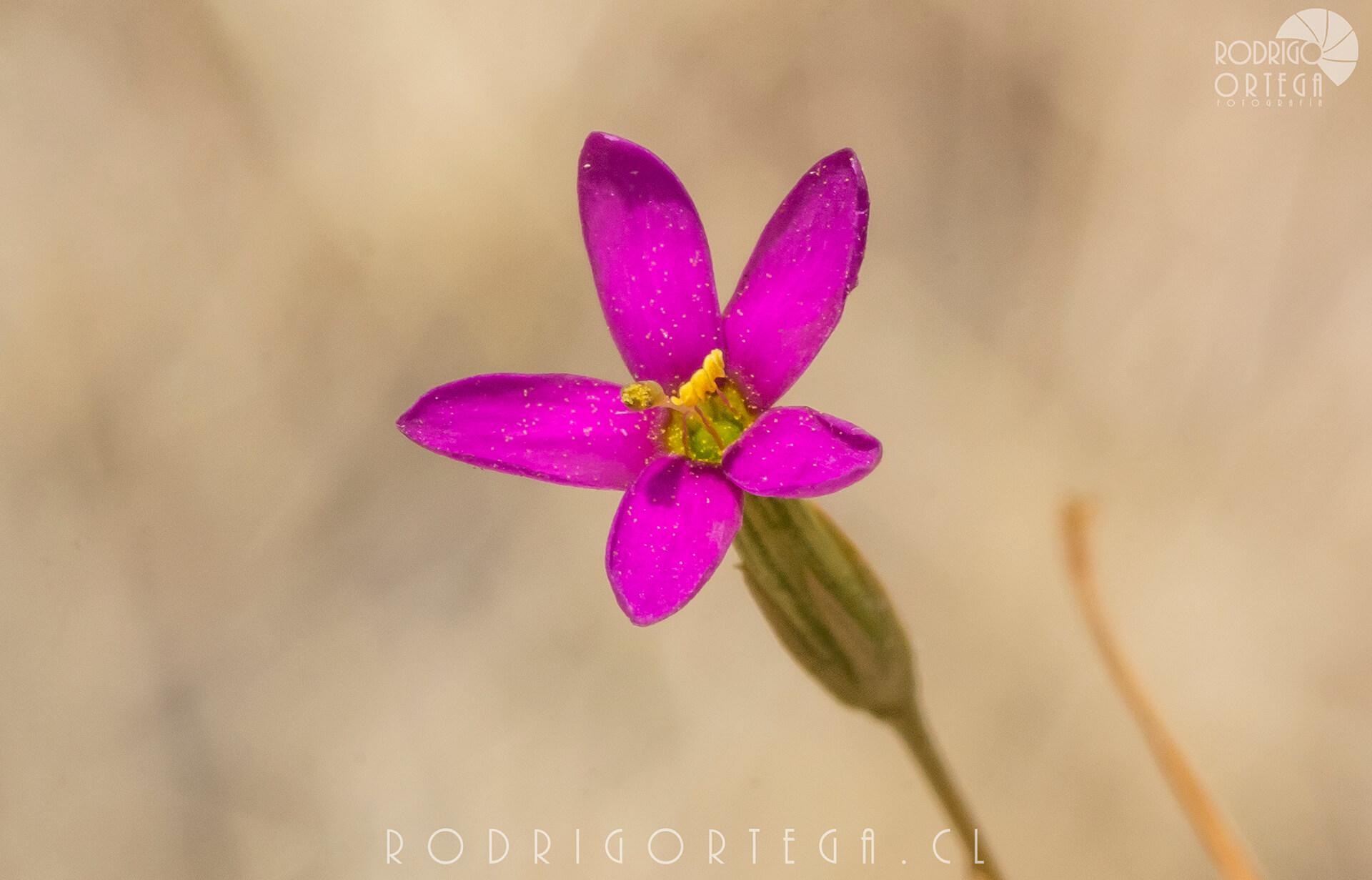 Cachanlagua (Centaurium cachanlahuen)