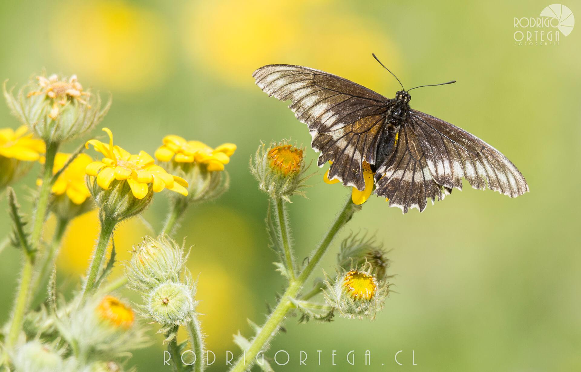 Papilonio negro (Battus polydamas archidamas)