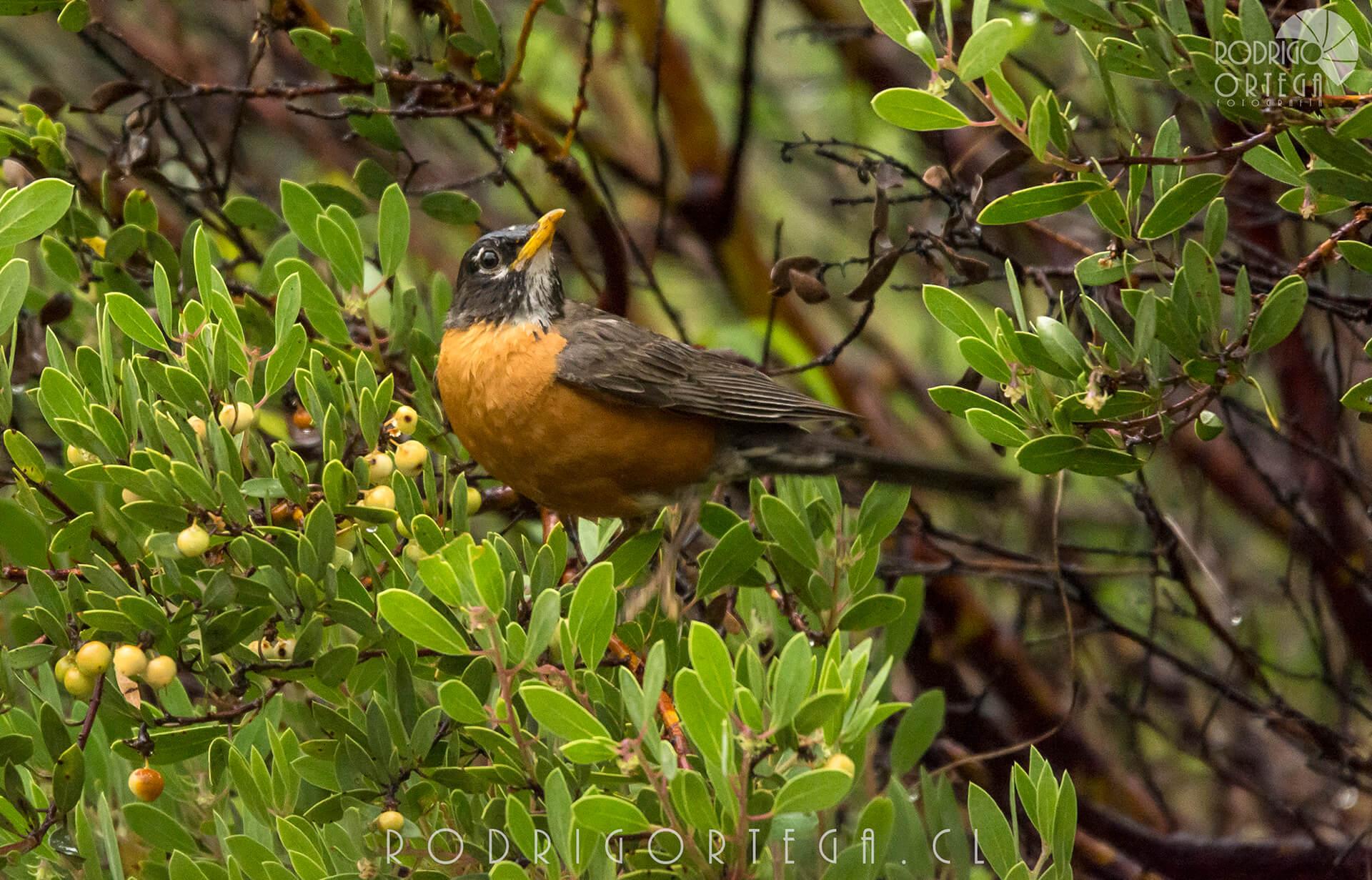 Mirlo primavera (Turdus migratorius)