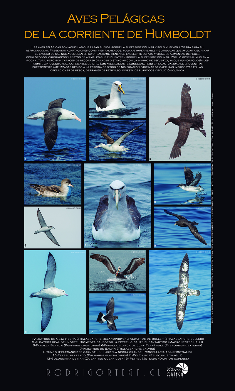 Poster Aves Pelagicas Rodrigo Ortega - Naturaleza & Outdoor Poster Aves Pelagicas